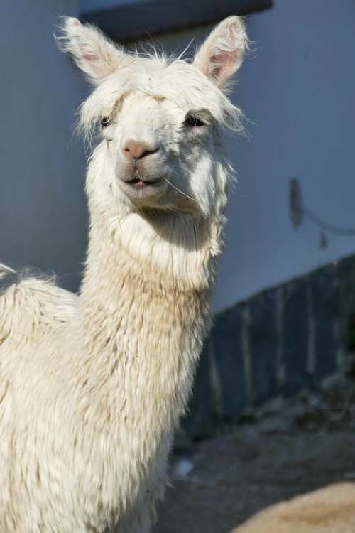 Lama Animal White Head Mammal Hair Funny Fur