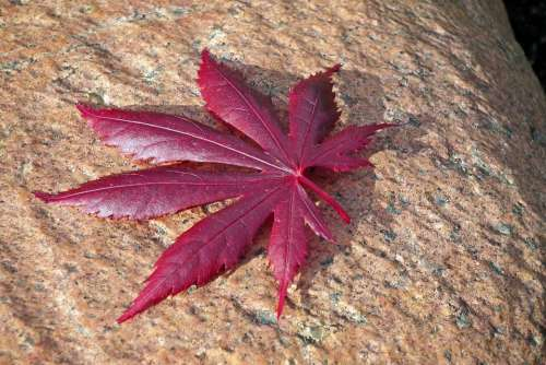 Leaf Japanese Maple Stone Tree Nature Red Garden