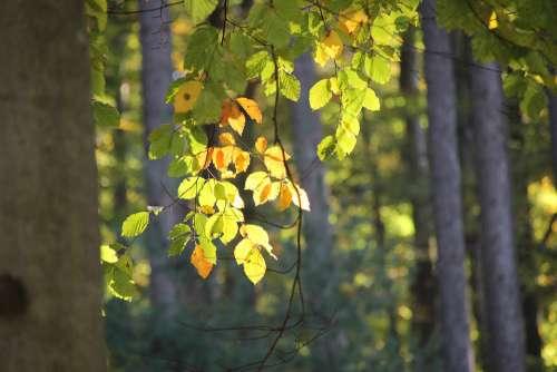 Leaves Sun Lichtspiel Bright Light Deciduous Tree