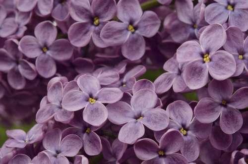 Lilac Pink Purple Flowers Garden Background