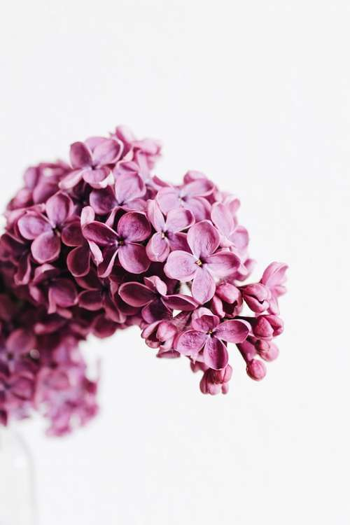 Lilac Purple Violet Pink Flowers Flora Plant May