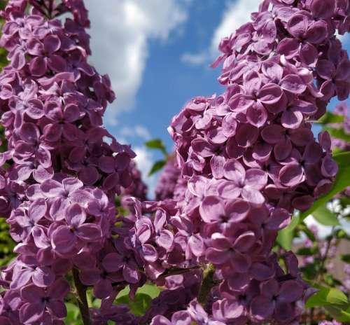 Lilac Purple Flowers Lilac Flowers Lila