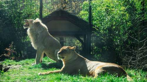 Lion Zoo Dangerous Big Cat Male Female