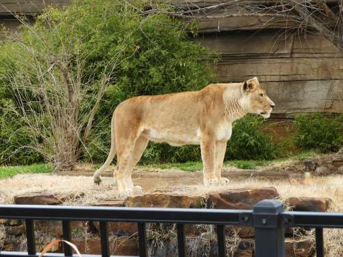 Lioness Standing Zoo Feline Cat Female African
