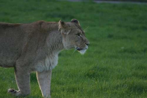 Lioness Large Dangerous Carnivore Predator
