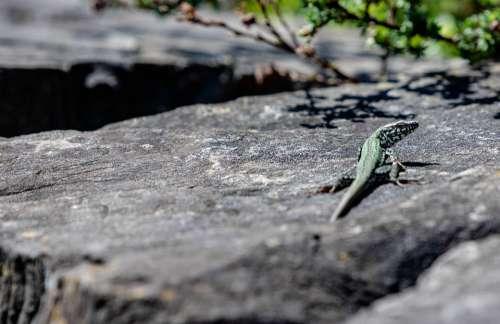Lizard Stone Reptile Animal Nature Close Up