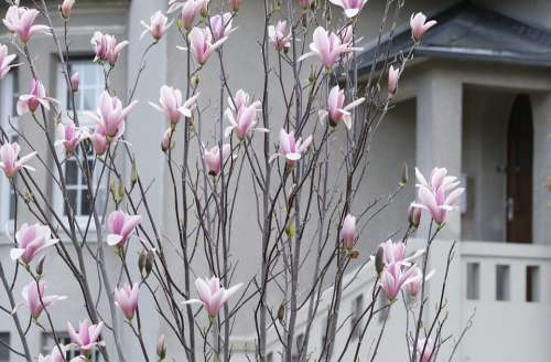 Magnolia Spring Flowering Pink The Comfort Of Home
