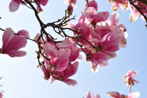 Magnolia Flower Blossom Bloom Nature Petal Plant