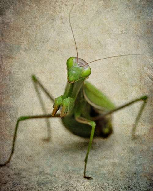 Mantis Insect Female Green Praying Nature Bugs