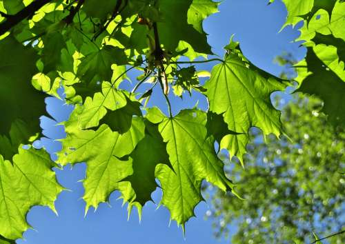 Maple Leaves Leaves Shadow Green Branch Tree