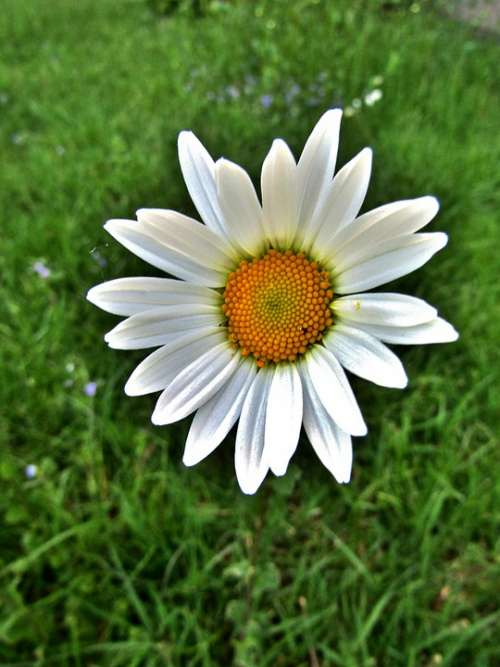 Marguerite Single Flower Daisies White