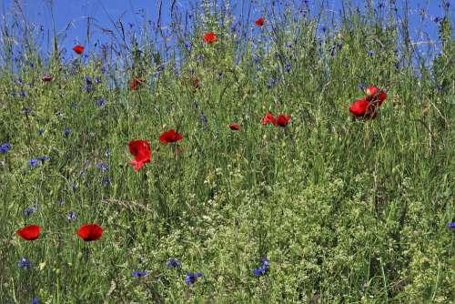 Meadows Flourishing Cornflowers Poppies Plant