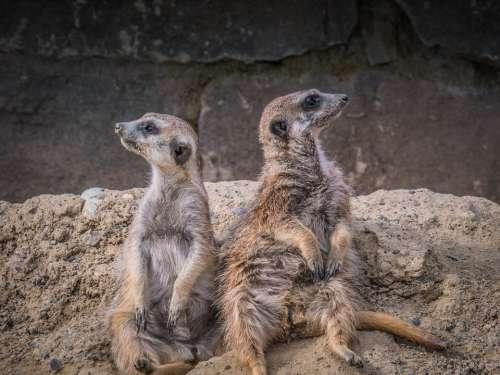 Meerkat Animals Animal World Cute Mammal Zoo