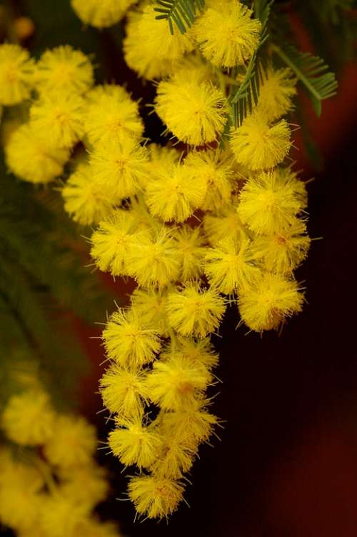 Mimosa Flower Nature Spring Yellow Women'S Party