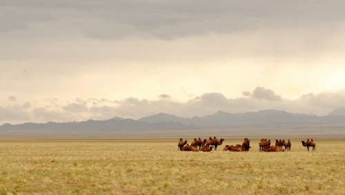 Mongolia Gobi Camels Lighting Steppe