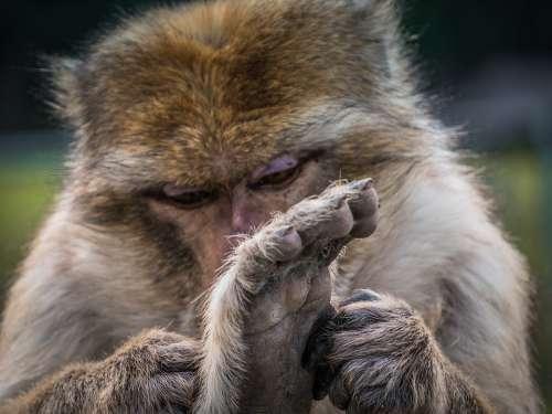 Monkey Animal Gorilla Mammal Zoo Animal World