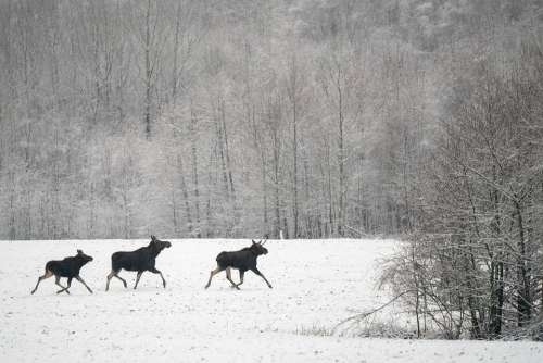 Moose Winter Male Female Null Cow Calf Family