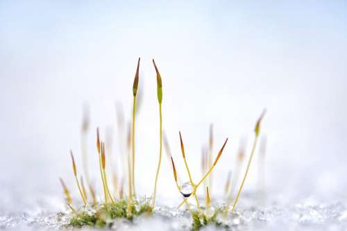 Moss Plant Grass Snow Ice Drip Close Up Nature