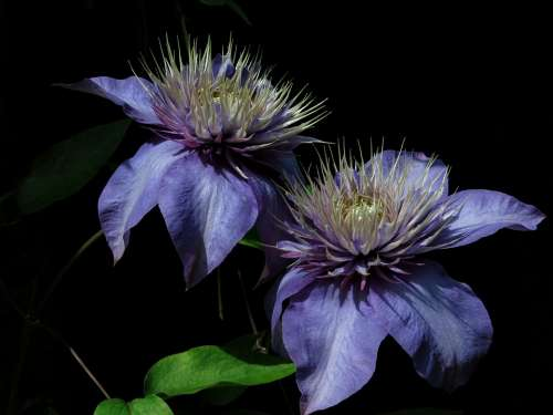 Multi-Blue Clematis Blue Nature Plant