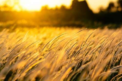 Nature Grass Sunset Field Golden Wind Background