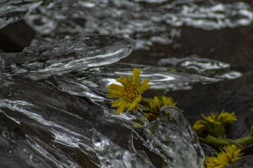 Nature Flower Ice Yellow Winter Cold