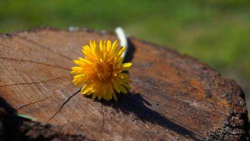 Nature Plants Flowers Dandelion Yellow Konar Wood
