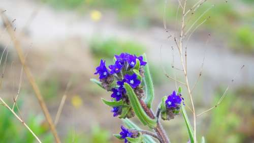 Nature Plants Blue Minor Flowers Spring