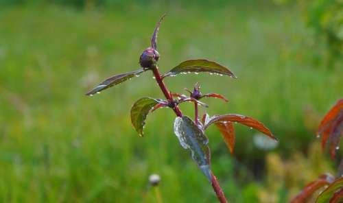 Nature Plants Bud Peony Garden Green Grass Drops