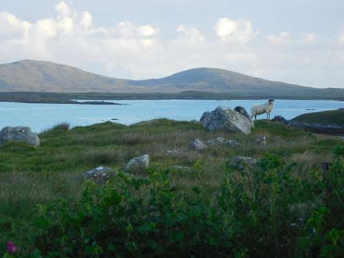 North Uist Sheep Loch Scotland Scottish Highlands
