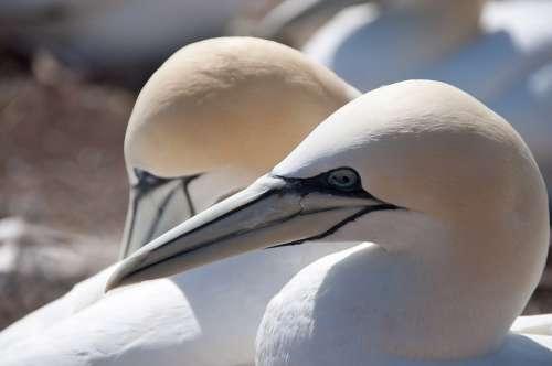 Northern Gannet Bird Seevogel Nature North Sea