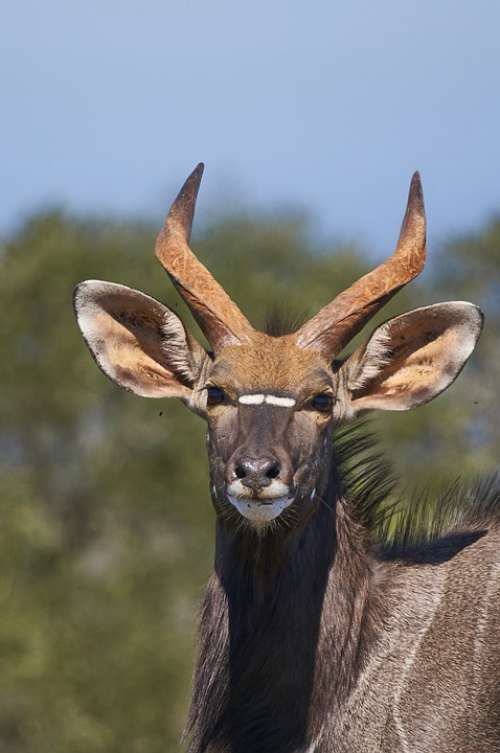 Nyala Antelope South Africa Nyala Bull Horns Head