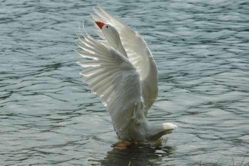 Oca Palmipedo The Bird Ali Bird Animal Water