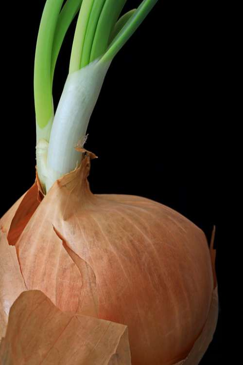 Onion Engine Growth Sprout Nature Seedling