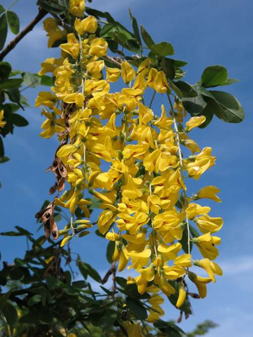 Ordinary Gold Rain Laburnum Anagyroides