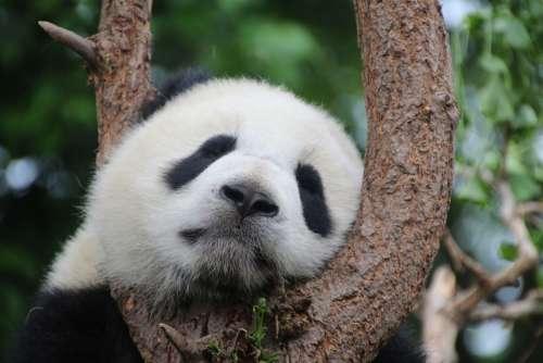 Panda Panda Bear Sleep Rest Relax China Mammal