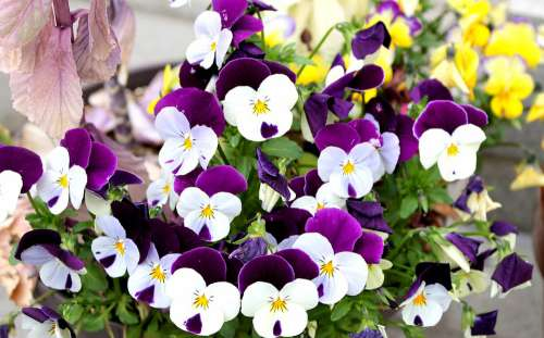 Pansy Violets Purple Flowers Spring Plant Natural