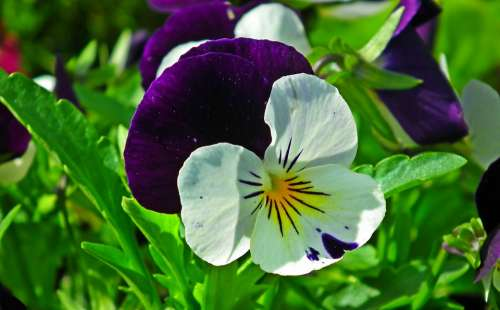 Pansy Flower Colored Spring Garden Nature