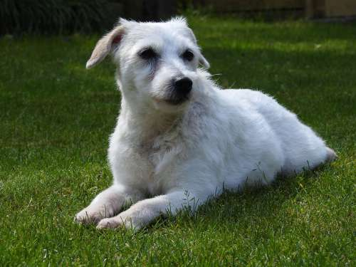 Parson Russell Terrier Dog Small Dog Terrier Pet