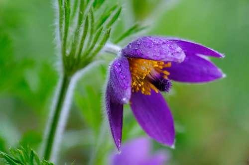 Pasqueflower Pasque Flower Pulsatilla Ranunculaceae