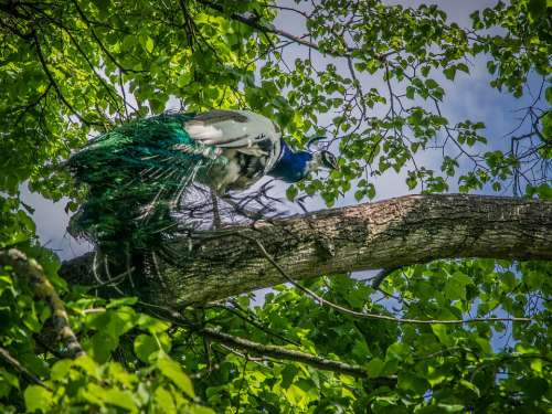Peacock Bird Feather Colorful Colors Elegant Tree