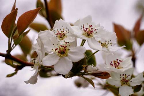 Pear Tree Blossom Flower White Blooming