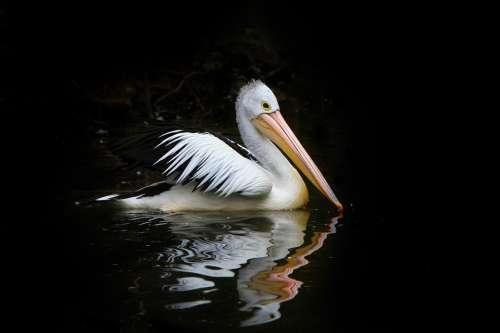 Pelican Bird Sea Birds Water Nature Australia