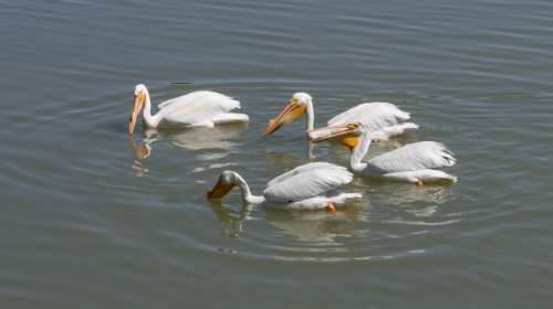 Pelicans Bird Waterfowl White Nature Wildlife