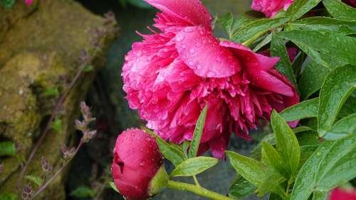 Peony Open Garden Nature Herb