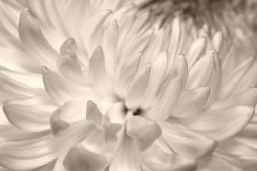 Petals Chrysanthemum Flower Opened Blooming Bloom