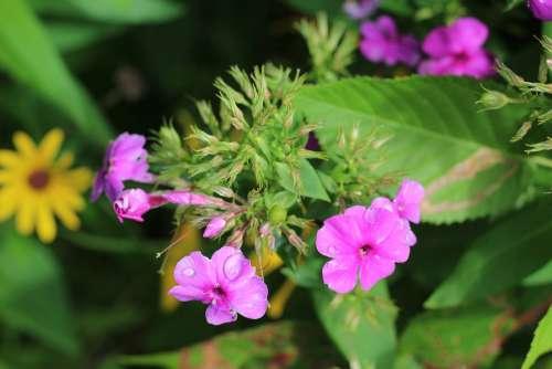 Phlox Pink Purple Flower Floral Botanical Macro