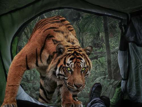 Photomontage Composing Tigers Tent Risk Adventure