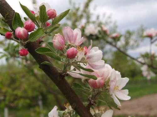 Picnic Apple Flower