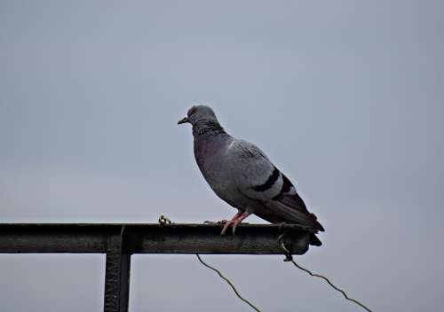 Pigeon Bird Nature Dove Animal Wings Feathers