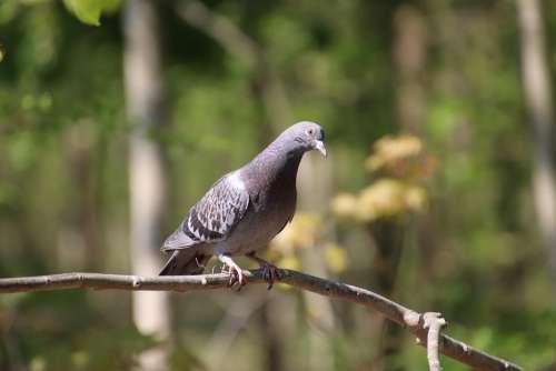 Pigeon Bird Ornithology Pen Plumage Sweetness